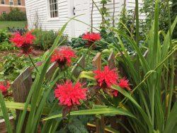 Samuel's Garden- Bee Balm