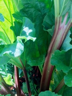 Close up of Rhubarb stems and leaves- Nancy Prescott Diary