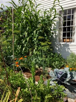 Harvest Time in the Phoenix Mill House Garden